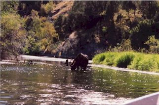 Moose on the South Fork